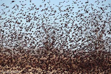 blacbirds_kentuckyB
